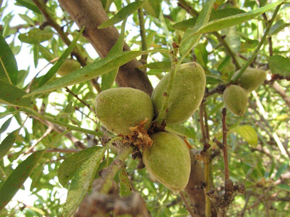 almendras verdes en el árbol